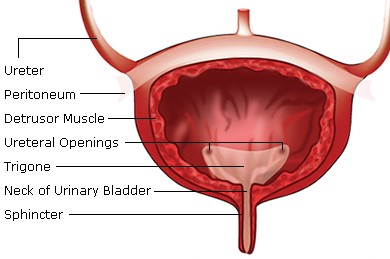urinary bladder (2)